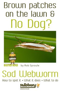 #Sod #Webworm - Brown Spots on your lawn but no dog? - How to spot it - What it does - What to do - By Rob Sproule, Salisbury Greenhouse