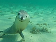 Swimming with the sea lion pups in Baird Bay, SA. Great Barrier Reef, Australia Photos, South Australia, Majestic Animals, Animals Of The World, Marine Life, Mans Best Friend, Polar Bear, Dolphins