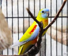 Turquoisine Grass Parakeet - grass parakeets are little Australian species with quiet and shy demeanors. This particular turquoisine is a yellow mutation, which replaces all the normal green color they would normally exhibit.