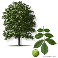 Hickory: genus Carya; 17-19 species of deciduous trees with pinnately compound leaves and big nuts; wind-pollinated and self-incompatible