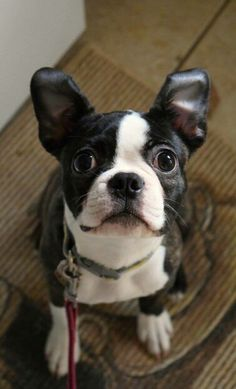 Tilly Boston Terrier Love, Boston Terriers, Cut Animals, Animals And Pets, Bulldog Puppies, Dogs And Puppies, I Love Dogs, Cute Dogs, Dog Things