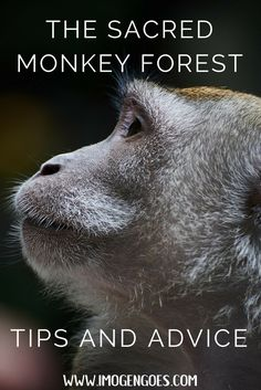 The Sacred Monkey Forest in Ubud (Bali, Indonesia) is home to over 600 monkeys who are free to roam amongst visitors. Here are the best tips and advice on what to do and what not to do in this amazing place! www.imogengoes.com/