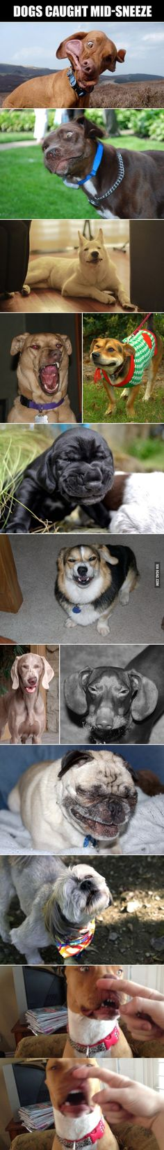 Dogs caught mid-sneeze. Laughed too hard at this!