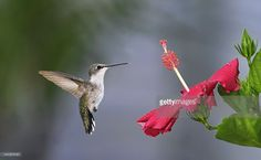 Ruby Throated Hummingbird flying near Hibiscus flower in park.