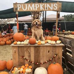 way too cute 😍🎃🍁🐕 fall autumn autumnvibes🍁 seasonsinspire halloween pumpkins dog falldog Cute Funny Animals, Cute Baby Animals, Cute Puppies, Cute Dogs, Autumn Aesthetic, Autumn Cozy, Jolie Photo, Autumn Inspiration, Happy Fall