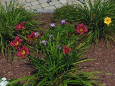 Day lilies and African daisies happily blooming in my yard :)