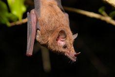 Morcego da Caatinga [Xeronycteris vieirai]