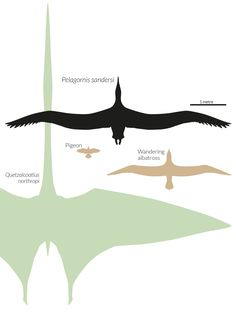 Pelagornis sandersi was twice the width of a wandering albatross – the largest living bird – but was nevertheless dwarfed by the biggest pterosaurs