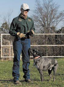 12 Best Cowdog Breeders Images Australian Cattle Dog Cattle Dogs