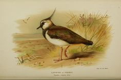 Lapwing - Coloured figures of the birds of the British Islands / issued by Lord Lilford.. London :R. H. Porter,1885-1897. A Thorburn