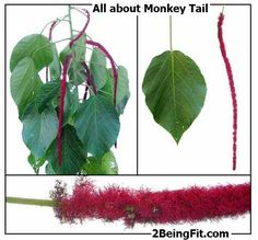 monkey tail herb nutrition, health benefits, uses, recipes and more