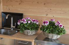 Elegance Bravo #Franse #Geranium #Edelgeranie #Regal #Pelargonium #Grandiflorum #garden #plants #flowers
