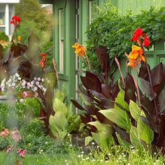 Canna (full sun, well drained soil, not drought tolerant)