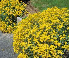 Perennial Flowering Plants, Perennials, Alyssum Flowers, Weed Seeds, Golden Flower, Spring Garden, Flower Seeds, Growing Plants, Yellow Flowers
