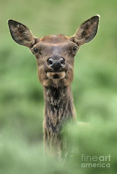 Female Elk, Wyoming by Dave Welling