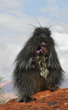 Porcupine.. ( by E.J. Peiker)
