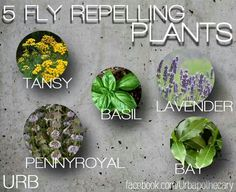 Fly Repelling Plants
