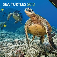 Sea Turtles Wall Calendar: Reptiles of the order Testudines, sea turtles are one of the oldest species on the planet, with ancestors dating back more than 200 million years.  http://www.calendars.com/Sea-Life/Sea-Turtles-2013-Wall-Calendar/prod201300005017/?categoryId=cat00345=cat00345#