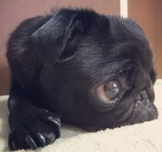 Baby black pug.