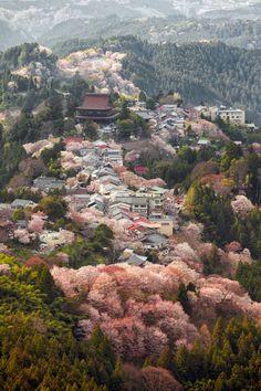 Cherry trees in full bloom, MountYoshino, Nara, Japan.  Photography by  Rickuz on Flickr