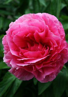 Rose Heart Peony