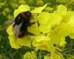 Bumble bee foraging on oilseed rape