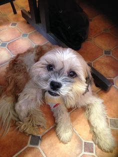 Digby  5 year old male Shih Tzu cross Poodle #cutedogs #cute #dogs #dog #pets #babblepets