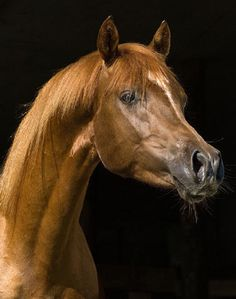 arbian horses | Arabian Horse Picture of Arabian Horse