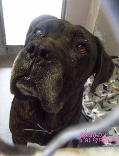 A4789651 I am a very friendly 5 yr old male br brindle Cane Corso mix. I came to the shelter as a stray on Jan 6. available 1/10/15 NOTE: Bully breeds are not kept as long as others so these dogs are always urgent!! Baldwin Park shelter https://www.facebook.com/photo.php?fbid=906413176037187&set=a.705235432821630&type=3&theater