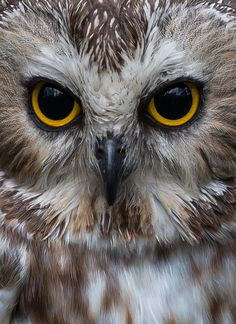 Must-See Images Of Animal Eyes: Photo Contest Finalists Owl Photos, Owl Pictures, Beautiful Owl, Animals Beautiful, Animals Images, Wild Animals Photos, Saw Whet Owl, Owl Quilts, Owl Eyes
