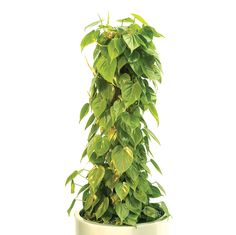 Philodendron, a fast growing climber with heart shaped dark glossy green leaves, suitable for most light conditions!
