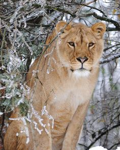 Conservators' Center, NC, exotic animal rescue with lions, tigers, binturongs, lemurs, servals, wolves, leopards, and more!