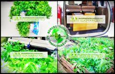 Di jual Bibit Gaharu jenis Aquilaria Malaccensis asli kalimantan. Bibit gaharu dari indukan yg sudah berumur 50 thun siap antar seluruh Indonesia. - Tinggi 20 sampai 50 cm harga Rp. 2.000,- / bibit - Tinggi 5 sampai 15 cm harga Rp. 1.000,-/ bibit (Ready Stocks) Lokasi : Banjarbaru (Kalimantan selatan)  http://bibitgaharuku.wordpress.com Contact Person : 085272223447 / 08195363177