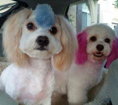 Animals in Technicolor on Pinterest   Dog Hair Dye, Poodle and ...