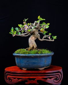 Apple Bonsai Tree.