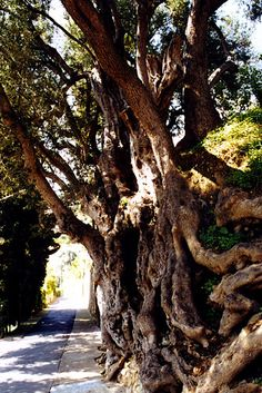 Gnarled Olive tree In Roquebrune, France Le Colorado, Houses In France, Provence France, French Countryside, Olive Tree, When I Grow Up, Small Trees, Forests, Bonsai
