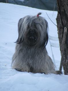 "Skyeluck foundation Dam ""Adalia"", a rare drop eared skye terrier <3"