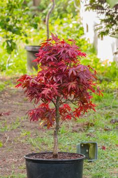 Acer Palmatum Shaina... My brother gave me this AWESOME Japanese Red Maple. I will be putting this Maple in a Bonsai pot next year.