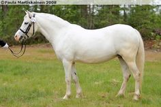 Welsh Mountain Pony (section A) - mare Majodian Fortuna