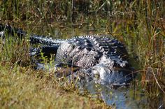 Everglades- Got to watch where you walk! Almost stepped on one of these guys.. and yes, I'm sure that would have been painful!