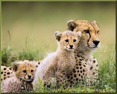 "The only ""big cats"" I like... Cheetahs :-)"