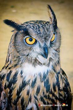 Dónde ver aves en el Algarve, Portugal - via Naturaleza y Viajes 16-01-2017 | El birdwatching, del que os hablé en este artículo que publicamos hace un par de meses, se basa en la observación y el estudio de las aves silvestres. Casi 300 especies de este grupo de vertebrados (entre rapaces, marinas, limícolas, anátidas, paseriformes y otras) se dan cita en este territorio repartidas a lo largo de todo el año. Foto: Buho real All Birds, Birds Of Prey, Nocturnal Birds, Burrowing Owl, Crochet Owls, Bird House Kits, Backyard Birds, Baby Art, Owl Art