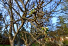 Omenapuun silmu, apple tree slowly growing leaves, May in Finland 2015. A photo with bokeh effect.