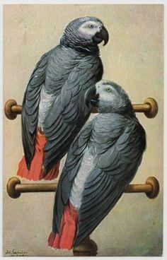 POSTCARD - artist signed Alf Schonian, birds, 2 African grey parrots