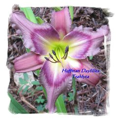 Live plant Daylily Trahlyta double fan by HuffmanDaylilies on Etsy, $9.50