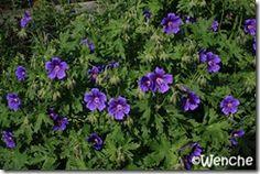Geranium magnificum 'Rosemore'