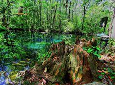 https://flic.kr/p/dbd5Ca | Cypress stump | HDR tonemapped  Buford Spring Chassahowitzka WMA Hernando County, Fl