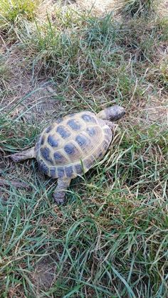 Russian Red Tortoise