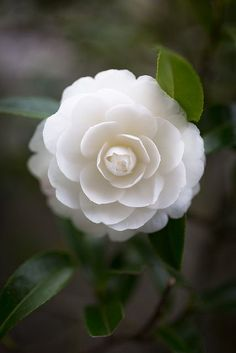 White Camillia