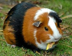 Guinea Pig - Brown, Black & White.